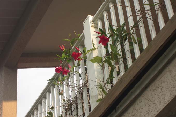 Roses on the Upper Balcony to Greet you